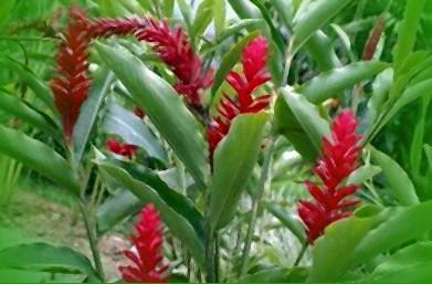 фото как цветет имбирь